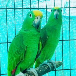 Yellow crowned amazon parrot