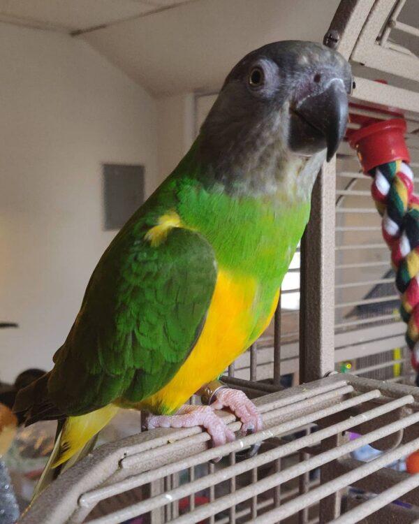 Senegal Parrot for sale