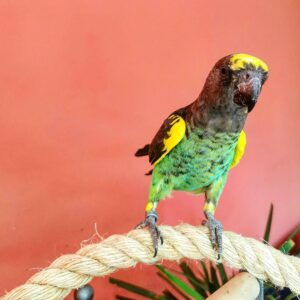 Meyers Parrot for sale