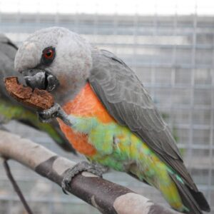 Red Bellied Parrot for sale