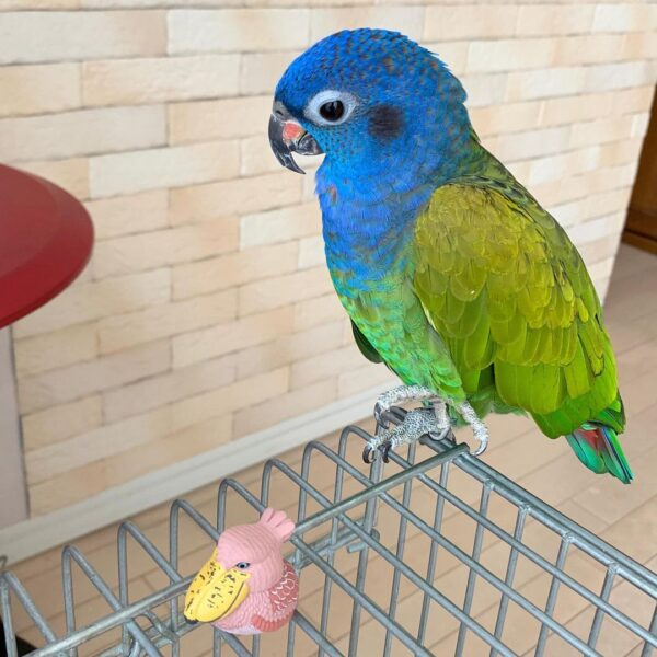 Blue Headed Pionus for sale