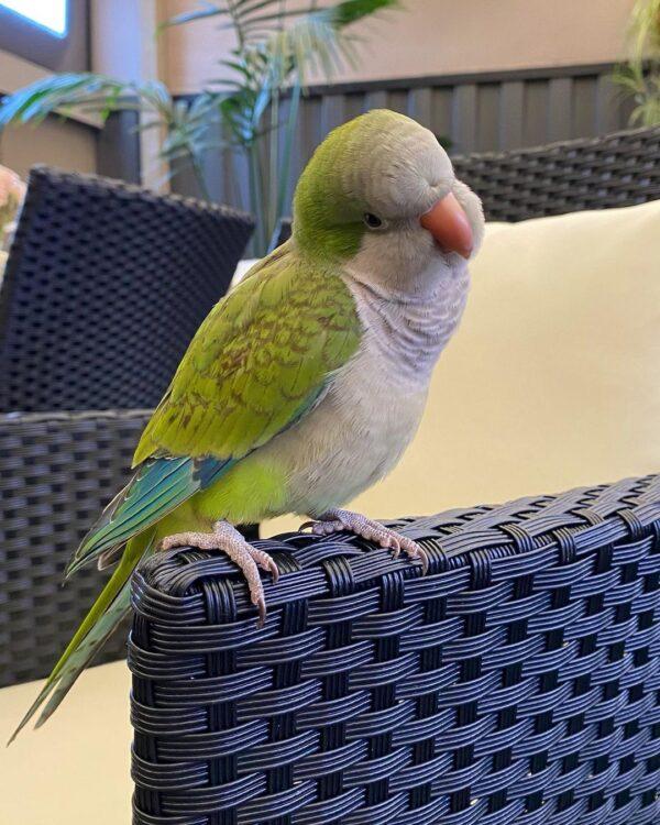 Quaker Parrot for Sale
