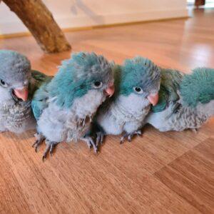 Blue Quaker Parrot for Sale