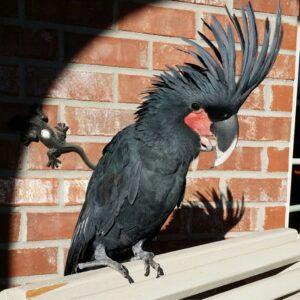 Black Palm Cockatoo for Sale