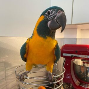 Blue Throated Macaw for Sale