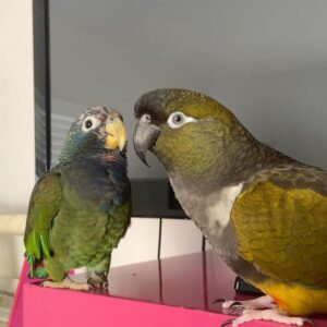 Patagonian Conure for Sale